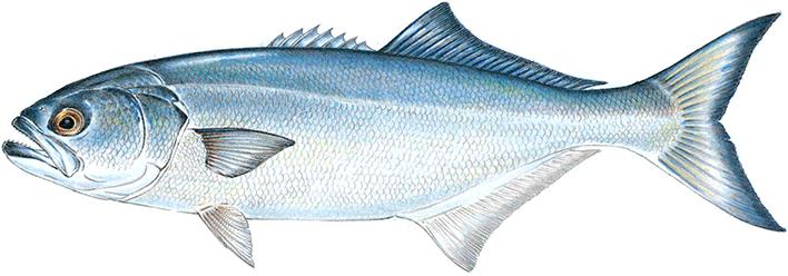 Bait for Blue fishing nj