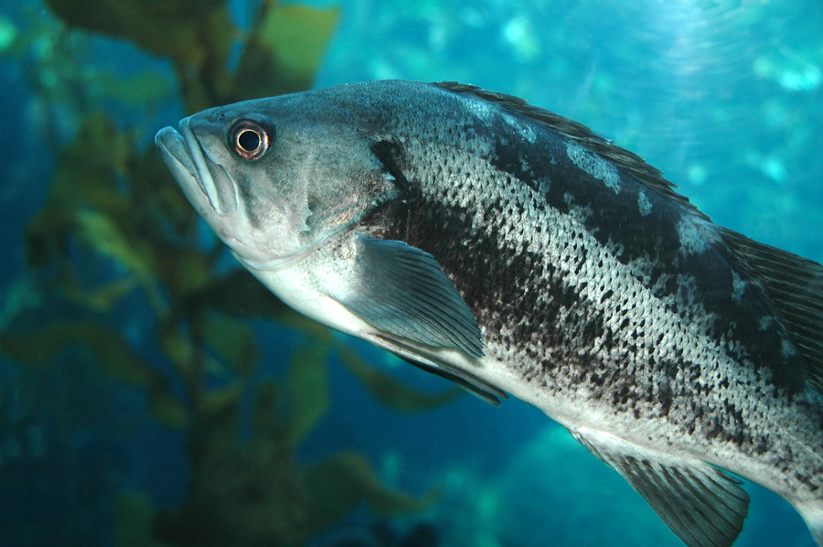 Black Sea Bass Season is opening