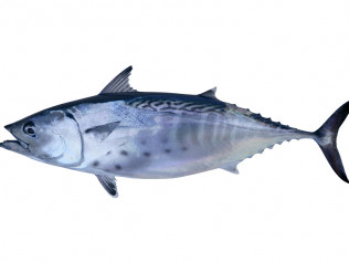 Tuna (big eye, blue fin, yellow fin)